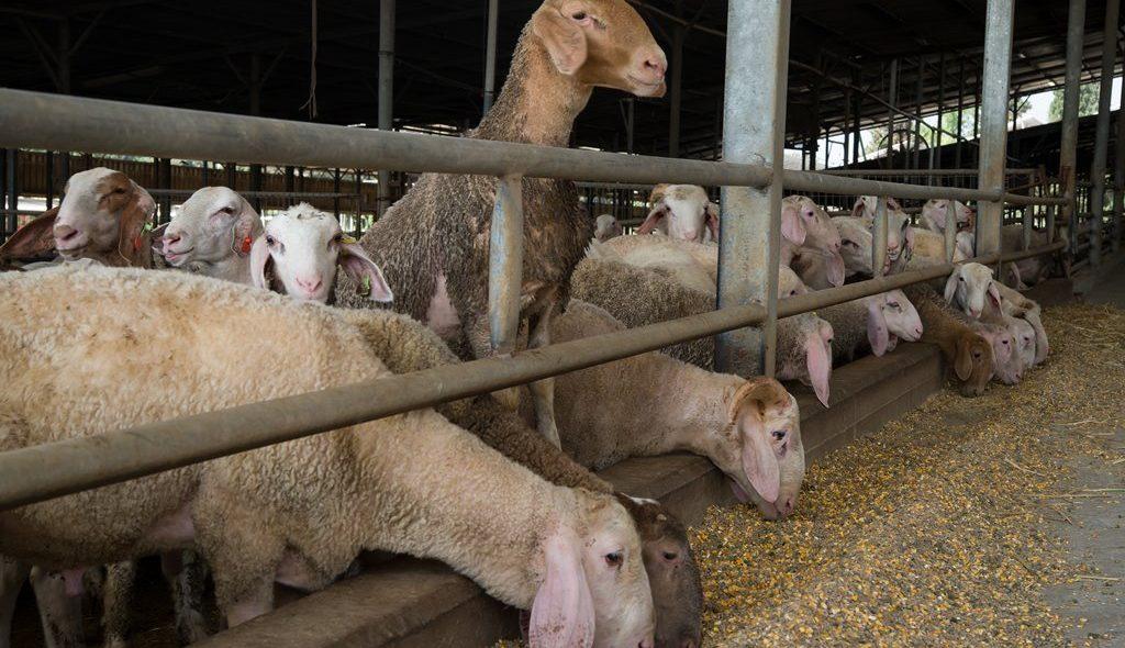 דיר כבשים 1